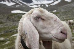Plan rapproché de Willow Mountain Alp Grazing de moutons Image stock