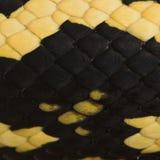 Plan rapproché des échelles de serpent de variegata de spilota de Morelia image stock