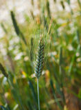 Plan rapproché des épillets du blé, champ de blé Image stock