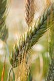 Plan rapproché des épillets du blé, champ de blé Images stock