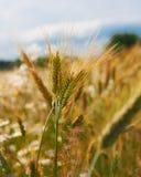 Plan rapproché des épillets du blé, champ de blé Photographie stock libre de droits