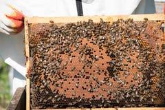 Plan rapproché des abeilles sur le nid d'abeilles dans le rucher Photographie stock libre de droits