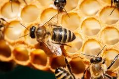Plan rapproché des abeilles sur le nid d'abeilles dans la ruche, rucher, foyer sélectif image stock