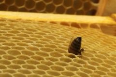 Plan rapproché des abeilles sur le nid d'abeilles dans le rucher Image libre de droits
