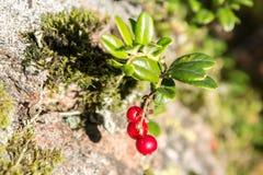 Plan rapproché des airelles rouges dans la forêt images stock