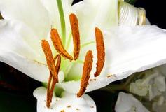 Plan rapproché des anthères avec des textures de pollen de lis de Madonna Images libres de droits