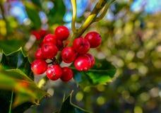 Plan rapproché des baies de rouge d'arbre de houx Photographie stock