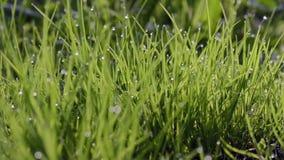 Plan rapproché des baisses de rosée sur l'herbe verte clips vidéos