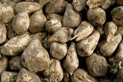Plan rapproché des betteraves à sucre Image libre de droits