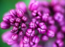 Plan rapproché des bourgeon floraux lilas Photos libres de droits