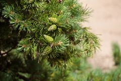 Plan rapproché des branches vert clair de pin avec les cônes texturisés verts image libre de droits