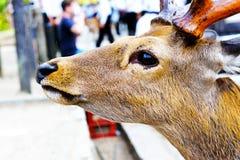 Plan rapproché des cerfs communs Photos stock