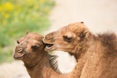 Plan rapproché des chameaux Bactrian agissant l'un sur l'autre images libres de droits
