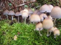 Plan rapproché des champignons de couche magnifiques photographie stock libre de droits