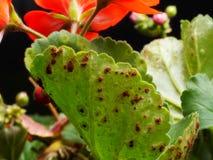Plan rapproché des champignons de rouille sur le zonale de pélargonium photos stock