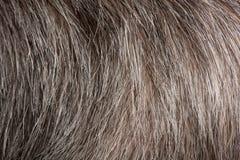 Plan rapproché des cheveux humains gris Photo stock