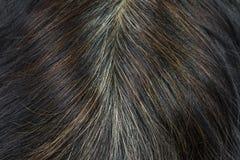 Plan rapproché des cheveux pour lesquels commence aux cheveux gris et aux cheveux bruns Images stock
