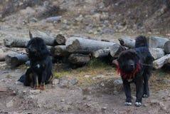 Plan rapproché des chiens de mastiff tibétain dans la Chine du Nord images stock