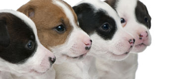 Plan rapproché des chiots de chien terrier de Jack Russell Photos libres de droits