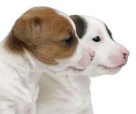 Plan rapproché des chiots de chien terrier de Jack Russell Photos stock
