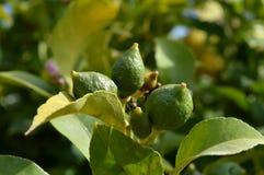 Plan rapproché des citrons non mûrs, nature, macro photos stock