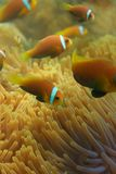 Plan rapproché des clownfishes maldiviens image stock