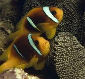 Plan rapproché des couples des clownfishes Images libres de droits