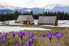Plan rapproché des crocus de floraison merveilleux dans le mounta carpathien Photos stock