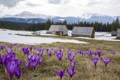 Plan rapproché des crocus de floraison merveilleux dans le mounta carpathien images stock