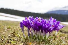 Plan rapproché des crocus violets de floraison merveilleux dans le carpathien photographie stock libre de droits