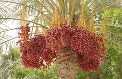 Plan rapproché des dattes rouges de Kimri Images stock