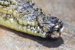 Plan rapproché des dents de crocodile et de l'embout avant de la bouche Fermez-vous des dents d'un crocodile images libres de droits
