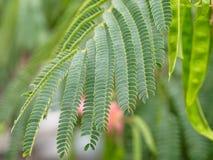 Plan rapproché des feuilles bipinnate vertes de l'arbre en soie persan ou des siris roses images stock