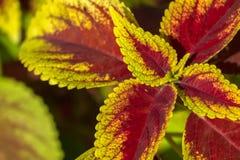 Plan rapproché des feuilles de coleus photographie stock