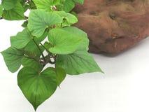 Plan rapproché des feuilles de patate douce Photographie stock libre de droits