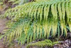 Plan rapproché des feuilles en feuille de palmier de fougère Photo stock