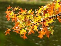 Plan rapproché des feuilles jaunes et d'orange sur une branche Photographie stock libre de droits