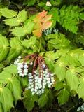 Plan rapproché des feuilles pointues vertes et des baies bleues Photographie stock libre de droits