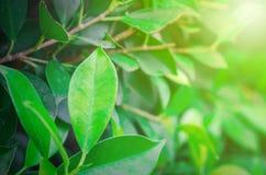 Plan rapproché des feuilles vertes avec orange-clair photos stock