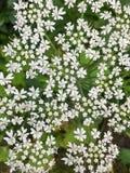 Plan rapproché des fleurs blanches de dentelle sensibles du panais de vache, maximus de Heracleum image libre de droits