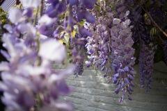 Plan rapproché des fleurs blanches pourpres de glycine devant le mur de briques blanc image stock