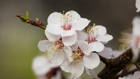 Plan rapproché des fleurs d'abricot sur la branche d'arbre banque de vidéos
