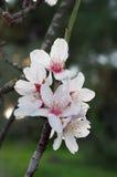 Plan rapproché des fleurs d'amande Photos stock