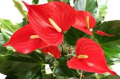 Plan rapproché des fleurs d'Antherium d'isolement sur le blanc Photo stock