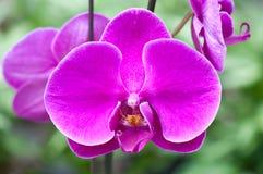 Plan rapproché des fleurs d'orchidée Photographie stock libre de droits
