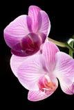 Plan rapproché des fleurs d'orchidée sur le noir Photos stock