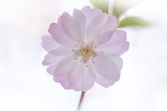 Plan rapproché des fleurs de cerisier simples sur le fond clair brouillé Photographie stock