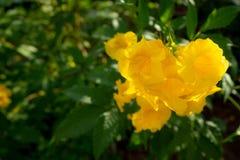 Plan rapproché des fleurs de cloche jaune sur le fond vert brouillé de feuille photos libres de droits