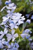Plan rapproché des fleurs de jasmin bleu, des bourgeons et de petites branches Photographie stock libre de droits