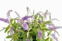 Plan rapproché des fleurs de lilas d'été photo stock